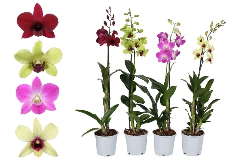 Орхидея Дендробиум Цветы Ишим